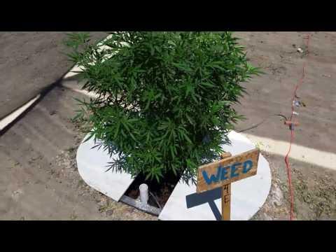 Outdoor hydroponics Marijuana grow #4
