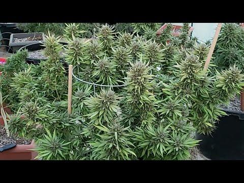 Vamos A Darle Riacas Al Tomatito Y Mas En Cannabis