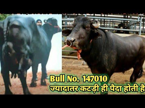 Murrah Bull HLDB 02/147010 इसके आगे 1000 रुपये semen वाला bull भी Fail है