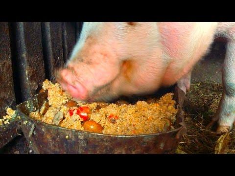 pig eating slop vol6