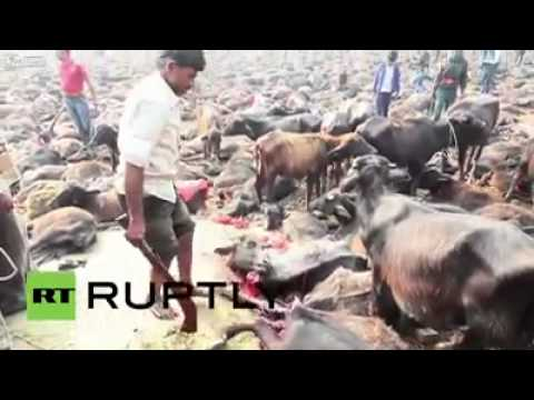 2 Latest Animal Sacrifice scene from Nepal   Graphics   IndianMuslimmedia Back