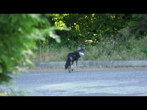 2-year-old attacked by coyote in Vancouver's Stanley Park