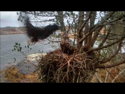 Smola Norway Eagles Cam ~ I'm Home Mom! ~ Solo Spends Night With Baroness 12.2.17