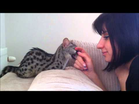 Playing with a small spotted Genet, (Genetta genetta