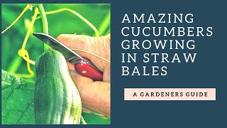 Amazing Double Duo Cucumber 15 Month Old Straw Bale Garden