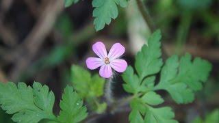 Herb Robert, The Tiniest Geranium Of Them All: Edible Wildflower, Geranium Robertianum