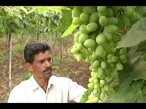 Grape cultivation in Nashik adversely hit by note ban