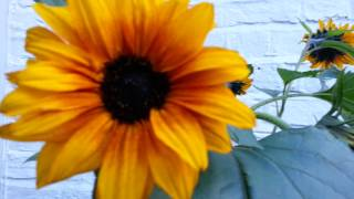Growing Sunflowers Plants -  Bigadvice