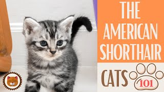 Cats 101  AMERICAN SHORTHAIR  Top Cat Facts about the AMERICAN SHORT