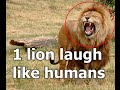 Laughing Lion Found in Jungle | Funny videos | Laughing Lion Funny videos