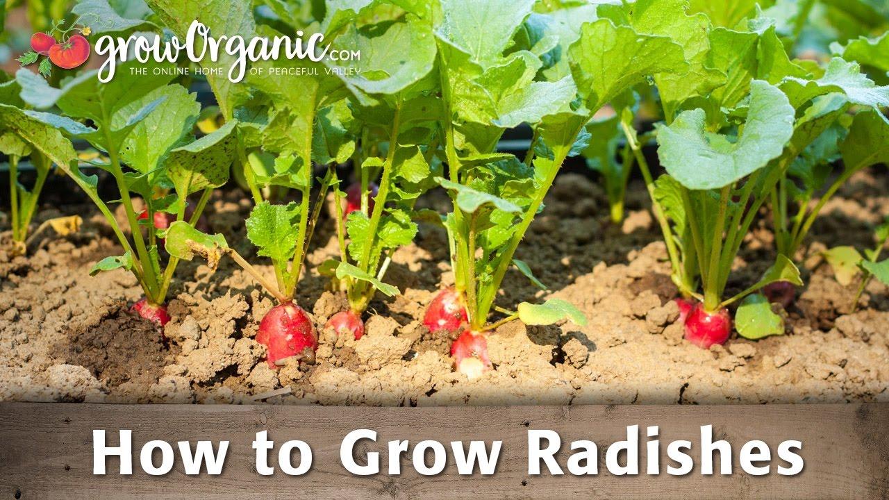 Growing Organic Radishes Groworganic Peaceful Valley