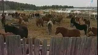 Возрождение традиций уральского коневодства