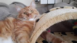 The long fluffy paws might catch you!  #mainecoon #maine #cat #orangecat