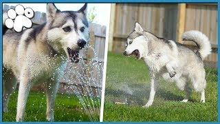 HUSKY REACTS TO NEW SPRINKLERS! (Slow Motion!) thumbnail