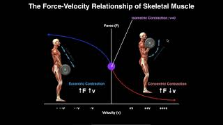 Exercise Physiology | Skeletal Muscle Force-Velocity Relationship