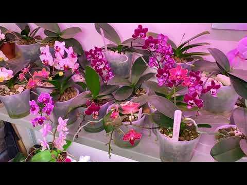 корни орхидеи растут а цветоносы цветут - 20 МИНИ ОРХИДЕЙ через год в НЕОРГАНИКЕ