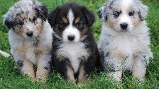 【愛らしい動物】❤犬の偉大な母❤多くの子犬の複数形を出産する妊婦オー...