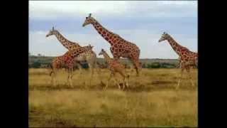 Žirafy - Vyšší společnost Afriky thumbnail