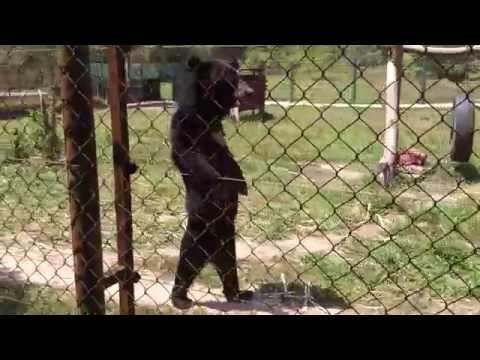 Funny bear walking like human