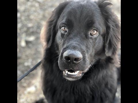 Newfoundland Dog Training Extended Sit! - Lennon