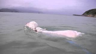 クランバースパニエルの水泳です。