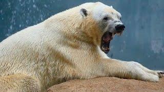 Очень интересный документальный фильм про животных! Белый медведь! Документальные фильмы