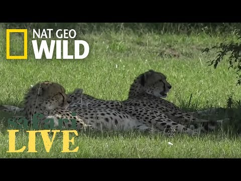 Seeing a Family of Spots! – Day 97 | Safari Live