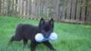 Dallas My Schipperke Puppy