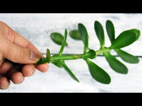 Это растение просто СОКРОВИЩЕ народной медицины, избавит от ВАРИКОЗА, ПРЫЩЕЙ, ГРИБКА и...