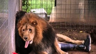 Humans attacked by (wild) lions! December 2016 Must See!