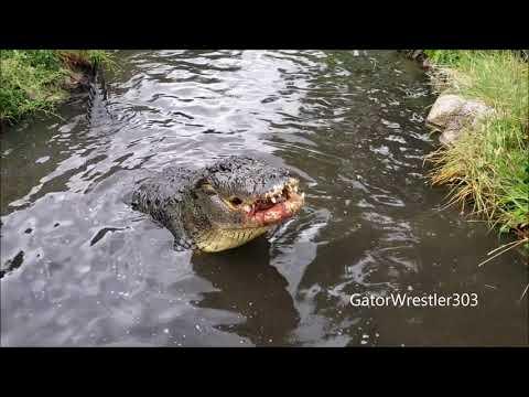 Morris The Gator Eating A Giant Carp