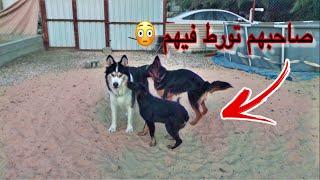 ردة فعل جاك وكلابي لما شافوا كلبه جيرمن مع ولدها 😳