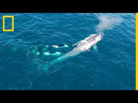 Un dron graba el ataque de un grupo de ORCAS a una BALLENA AZUL. ¡Impresionante! | NatGeo en Español