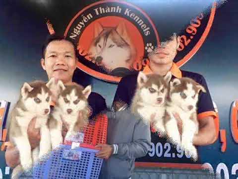 bán chó alaska , alaska dog , phối giống chó alaska tphcm