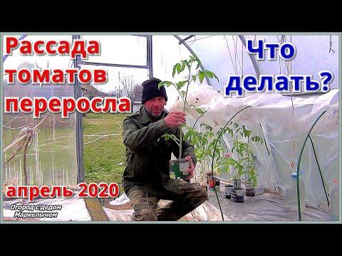 Что делать с переросшей рассадой томатов. Апрель 2020.