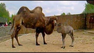 Верблюдица и верблюжонок. Животное верблюд. Верблюд видео