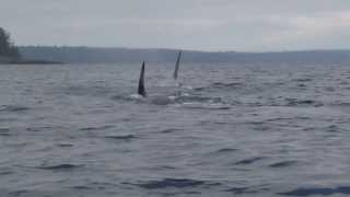 Baby orca breaching tail first