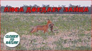 Лиса доедает остатки зайчонка A fox is eating remains.