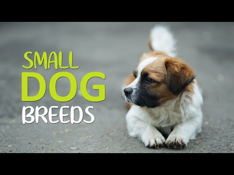 Top 10 Cutest Small Dog Breeds - Apartments Dogs