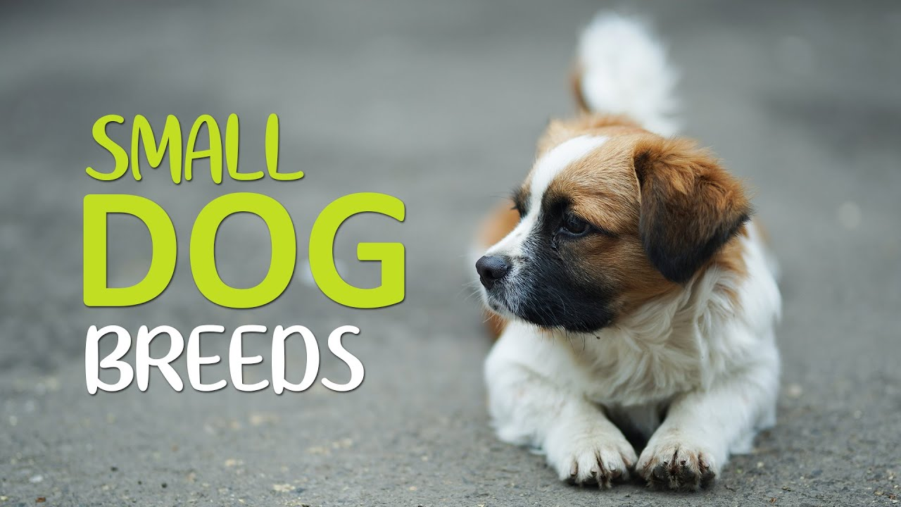 Top 10 Cutest Small Dog Breeds - Apartments Dogs - YouTube
