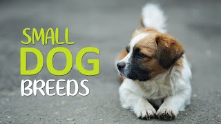 Top 10 Cutest Small Dog Breeds  Apartments Dogs