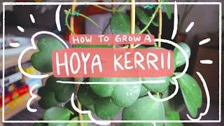 Hoya kerrii   How to care for this sweet heart houseplant