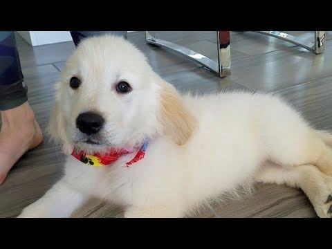GETTING THE CUTEST GOLDEN RETRIEVER PUPPY IN THE WORLD!!! We Both Cried (EMOTIONAL)