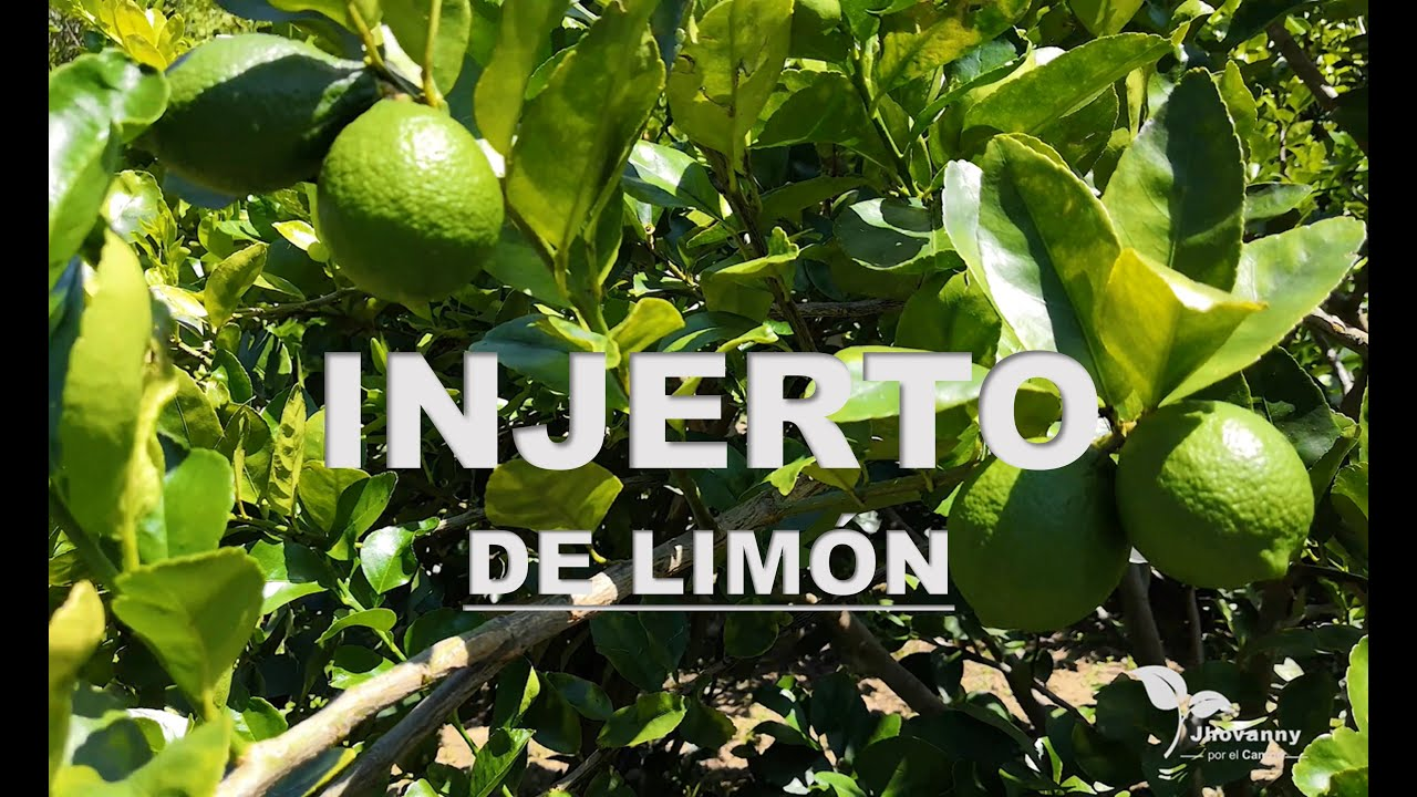 Injerto de limón sin semilla  |  Seedless lemon graft