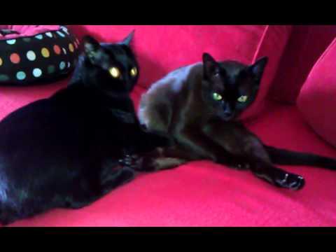 Bombay Katzen