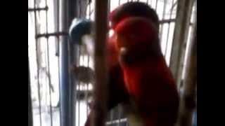 Suara Burung Nuri