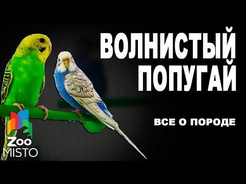 Волнистый попугай - Все о породе | Попугай породы - Волнистый