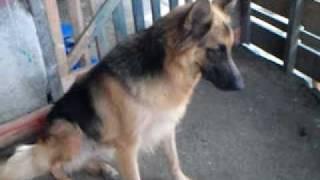 Germanshepherd Puppies (double Coat) For Sale P-1, Kiwalan, Iligan City