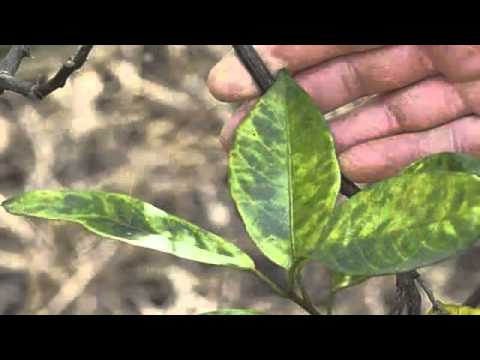Common Citrus Diseases Warners Tree Surgery (480) 969-8808 - YouTube
