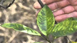 Common Citrus Diseases Warners Tree Surgery (480) 969-8808